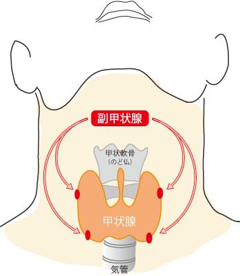 副甲状腺について | 南池袋パークサイドクリニック